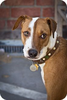 Whippet/Foxhound Mix Puppy for adoption in Orange, California - Caleb