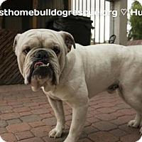 English Bulldog/Boxer Mix Dog for adoption in Tempe, Arizona - Hudson (adoption pending)