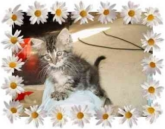 Maine Coon Kitten for adoption in KANSAS, Missouri - Sparkle