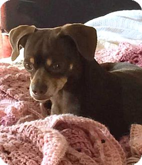 Miniature Pinscher Dog for adoption in Spring Valley, New York - CHARLIE BROWN