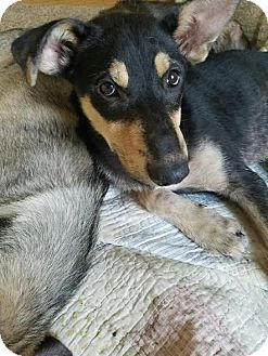 German Shepherd Dog/Siberian Husky Mix Puppy for adoption in Denver, Colorado - Kemba