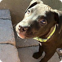 Adopt A Pet :: Dillon - Scottsdale, AZ