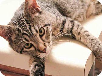 Domestic Mediumhair Cat for adoption in Denver, Colorado - CARTMAN