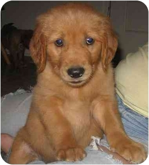 Golden Retriever Puppy for adoption in Chandler, Indiana - Golden Boys