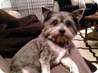 Yorkie, Yorkshire Terrier/Terrier (Unknown Type, Small) Mix Dog for adoption in Los Angeles, California - OSKAR