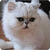 Adopt A Pet :: Pong - Beverly Hills, CA