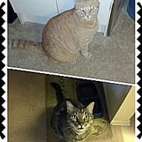 Adopt A Pet :: Desperate Rascal - Laguna Woods, CA