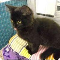 Adopt A Pet :: Midnight - Mission, BC