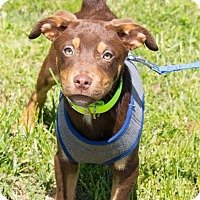 Adopt A Pet :: Piper - Millersville, MD
