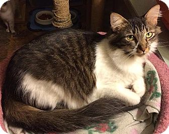 Domestic Mediumhair Cat for adoption in South Bend, Indiana - Missy