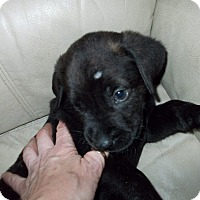Adopt A Pet :: Stubby - Woodstock, ON