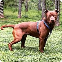 Adopt A Pet :: Bear(L)(90 lb) Great Pet! - SUSSEX, NJ