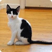 Domestic Mediumhair Kitten for adoption in Davison, Michigan - Sherlock