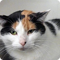 Adopt A Pet :: CALLI - Toledo, OH