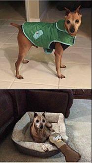 Miniature Pinscher Mix Dog for adoption in Brooksville, Florida - Lil-Red