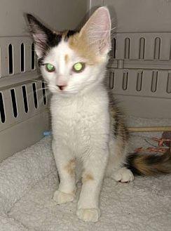 Calico Kitten for adoption in Savannah, Georgia - Madison