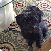 Pug/Lhasa Apso Mix Dog for adoption in Naples, Florida - Jersey Girl