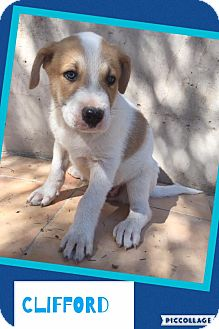 Australian Shepherd/Pit Bull Terrier Mix Puppy for adoption in Scottsdale, Arizona - Clifford
