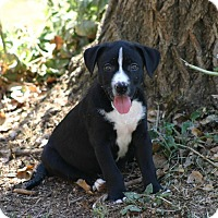 Adopt A Pet :: PUPPY - Sloan!! - Lincoln, CA