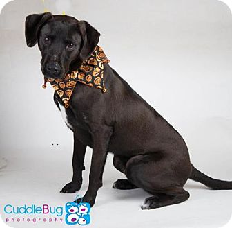 Labrador Retriever Mix Dog for adoption in Irving, Texas - Apollo