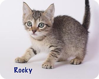 Domestic Shorthair Kitten for adoption in Baton Rouge, Louisiana - Rocky