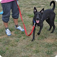 Retriever (Unknown Type) Mix Dog for adoption in Akron, Ohio - Prancer *Older Puppy