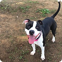 Pit Bull Terrier Mix Dog for adoption in Chico, California - Bella
