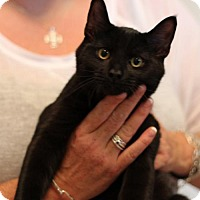 Adopt A Pet :: CATMAN CHARLIE - Franklin, TN