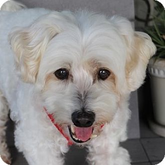 Bichon Frise Mix Dog for adoption in La Costa, California - Cassidy