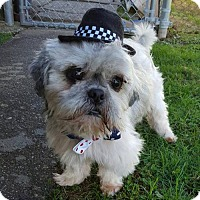 Shih Tzu Mix Dog for adoption in Fairmont, West Virginia - Paw Paw Bones Starr