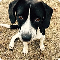 Beagle Mix Dog for adoption in Nashville, Tennessee - CHESTER