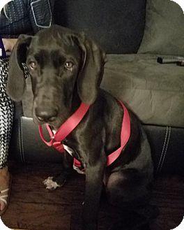 Great Dane Puppy for adoption in St. Louis Park, Minnesota - Khaleesi