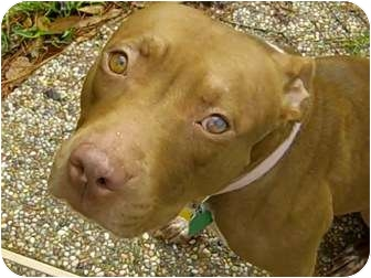 ... Houston, TX | American Pit Bull Terrier/German Shorthaired Pointer Mix