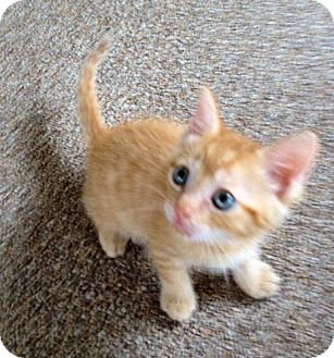 Domestic Mediumhair Kitten for adoption in Orlando, Florida - Orange