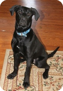 Labrador Retriever Mix Dog for adoption in Hamilton, Ontario - Shadow