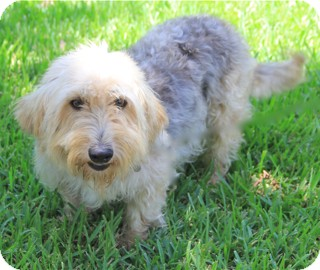 Yorkie, Yorkshire Terrier/Basset Hound Mix Dog for adoption in Norwalk, Connecticut - Willie Wonka