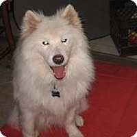 Samoyed Dog for adoption in Arlington Heights, Illinois - Glory