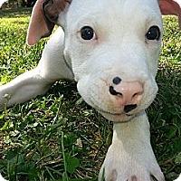 Adopt A Pet :: Milo - Des Peres, MO