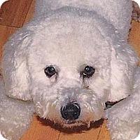 Adopt A Pet :: Iggy - La Costa, CA