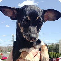 Adopt A Pet :: CHIWEENIE - Pompton lakes, NJ