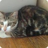 Adopt A Pet :: Sugar (Jeannie's Kittens) - Medford, NJ