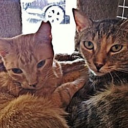Photo 3 - Domestic Shorthair Cat for adoption in Deerfield Beach, Florida - Penny