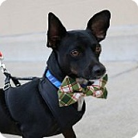 Dachshund Mix Dog for adoption in Fountain Valley, California - Penguin