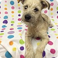 Adopt A Pet :: Alfalfa - Mission Viejo, CA