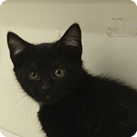 Adopt A Pet :: Midnight - Warren, OH