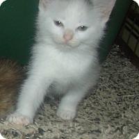 Adopt A Pet :: STEFFI - Acme, PA