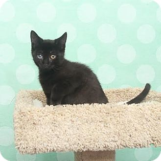 Domestic Shorthair Kitten for adoption in Chippewa Falls, Wisconsin - O'Malley