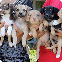 Adopt A Pet :: Ballet Puppies - Females - San Diego, CA