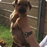 Adopt A Pet :: Rachel - Rexford, NY