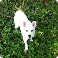Adopt A Pet :: Snowball - Doylestown, PA